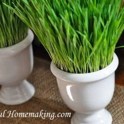 Growing Wheat Grass {For Decoration}
