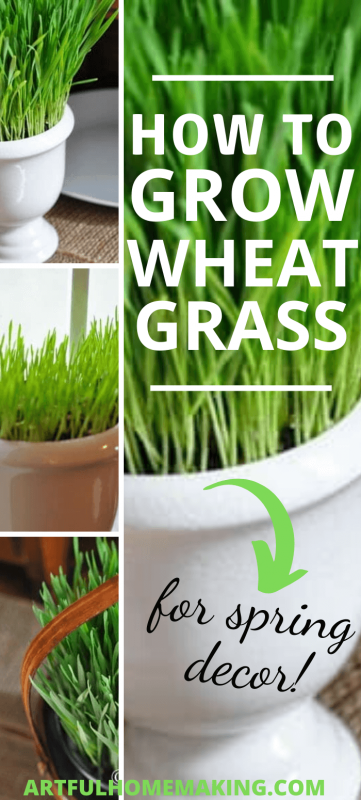 Growing Wheat Grass for Decoration