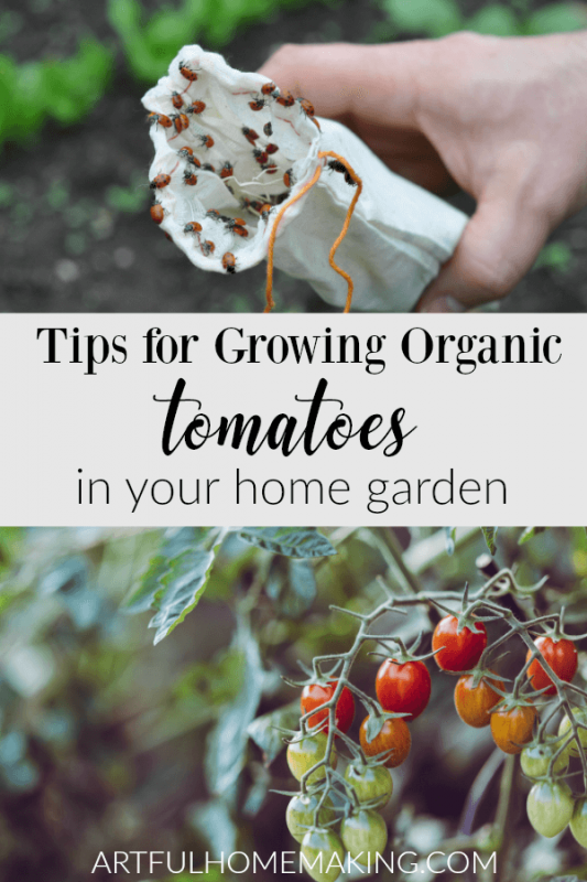 Tips for Growing Organic Tomatoes in Your Home Garden